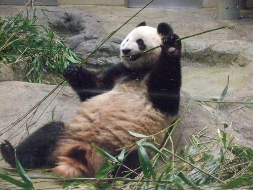 パンダのシンシン